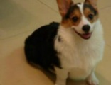 北京犬舍出售纯种威尔士黄白色柯基幼犬短腿 宠物狗