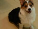 北京犬舍出售純種威爾士黃白色柯基幼犬短腿 寵物狗