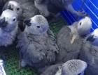 大型金剛,葵花,亞馬遜,灰機鸚鵡出售