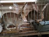 兔子养殖加盟 兔子回收 兔子回收价格