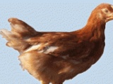 海兰褐青年鸡价格(鹤壁金山)