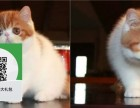 烟台哪里卖加菲猫 烟台哪里有宠物店 烟台哪里卖宠物猫便宜