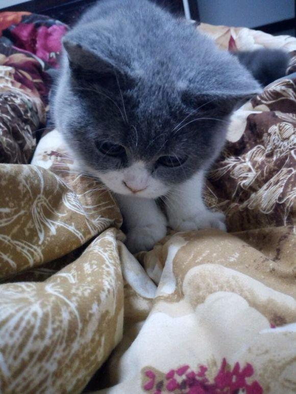 自家大猫生的蓝猫宝宝 身体健康纯种 非常活泼喜欢电联