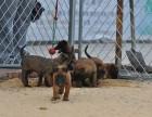 常德哪里有卖马犬 马犬多少钱 马犬图片