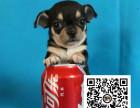 纯正健康吉娃娃犬出售-幼犬出售,当地可以上门挑选