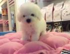 郑州本地犬舍出售纯种 比熊幼犬 同城可送货 保存活