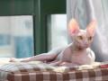 纯白金黄眼妹妹9个月斯芬克斯猫无毛猫母