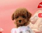 家养小体泰迪幼犬 可上门挑选品相完美价格合理