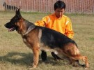 出售牧羊犬 黑背犬 品质好质量保证