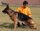 出售纯种德国牧羊犬 牧羊犬幼犬 品质好质量保证