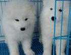 上門看狗 價格可便宜 出售純種薩摩耶 終身保障 完美售后