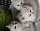 纯种英短银渐层猫咪渐层