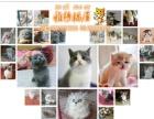 家养纯种蓝猫-银渐层-加菲-美短-折耳-暹罗猫等