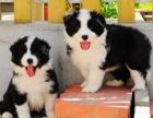 贵州狗场买卖.销售边牧幼犬/贵州纯种边牧小狗出售价格1600