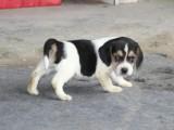 爆款出售活泼好动比格犬 纯种幼犬 米格鲁宠物狗狗