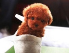 极品泰迪犬茶杯玩具迷你等体型 颜色多选包健康
