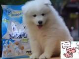 陵水純種薩摩耶犬價格 陵水里能買到純種薩摩耶犬