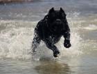 卡斯罗犬价格纯种卡斯罗犬报价卡斯罗繁育基地