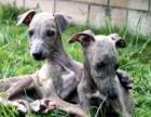 广州哪里有卖灵提犬,灵提犬多少钱。