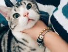 (CFA注册猫舍美国短毛猫)宠物标斑及加白小猫转让