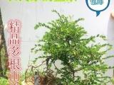 大量山格木盆景出售