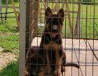 CSV认证犬舍 德国牧羊犬 保障健康 终生售后