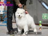 宠物店和狗市里的萨摩耶可以买吗 健康的多少钱一只