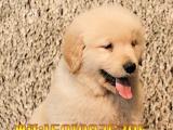 中国高端冠军级金毛领导者——高品质纯种金毛——纯种精品金毛犬