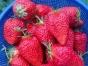 镇海湾塘草莓基地,摘草莓20/人啦