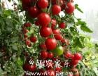 上海南汇农家乐 采小番茄 摘桑葚钓大鱼 自助烧烤 游滴水湖