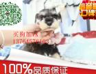 老头犬爱玩活泼雪纳瑞幼犬赛级雪纳瑞 宠物狗活体