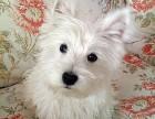 咱卖狗要对得起良心,卖的是品质,高品质西高地犬