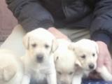 滨州国兴家庭宠物门诊出售自家繁殖的幼犬拉布拉多