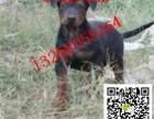 哪里有莱州红犬幼犬出售 小莱州红犬价格图片