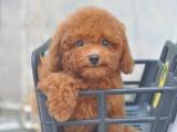 绵阳 纯种泰迪幼犬 疫苗齐全出售中 可签协议健康保障