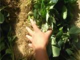 咖啡草莓苗批发 种苗品种全 脱毒草莓苗
