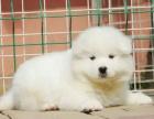 重庆萨摩耶价格 重庆萨摩耶犬舍 萨摩耶怎么卖的 萨摩照片