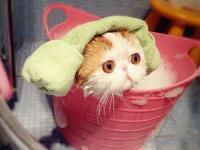 加菲貓猫舍直销 水滴眼眼鼻一线 纯种健康幼猫异短