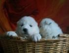 萨摩耶萨摩耶幼犬萨摩耶家养繁殖活体狗狗出售