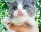 纯种宠物猫,保健康 英短蓝猫蓝白渐层 一千多