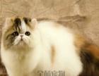 波斯猫宠物猫波斯猫蓝 白波斯猫幼猫纯种波斯 猫