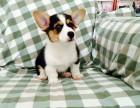 卡迪根威尔士柯基犬 彭布罗克威尔士柯基犬 养殖出售