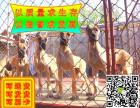 哪里卖纯种大丹犬的 纯种大丹犬多少钱