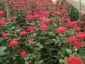 北京玫瑰花批发价格