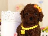 哪里能买到家养泰迪犬便宜的多少钱