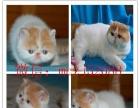 za160出售大眼可爱的波斯猫, 健康活泼聪明毛