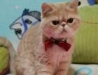 同城可送货上门红虎斑加菲猫各种花色可选包健康1