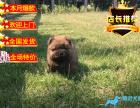 高品质松狮幼犬 毛量爆好 纯种肉嘴松狮