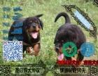 罗威纳犬疫苗齐全 保纯种健康签协议 免费送货