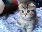 3只英短虎斑小奶猫预订
